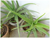 5 low maintenance plants for your office ways2gogreen blog for Low maintenance plants for office