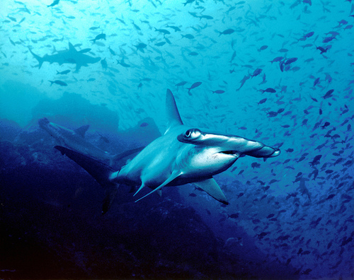 Cocos Island - 10 best places on Earth to swim with sharks