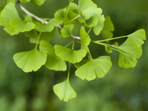 gingko biloba - increase circulation