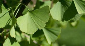 herbs - ginkgo biloba leaves